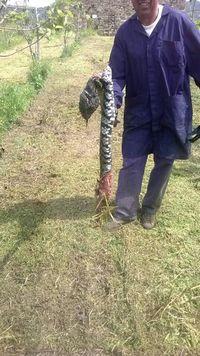 serpente_gigante_cilento_.JPG